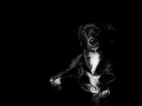 black and white dog wallpaper black and white dog wallpapers www imgkid com the