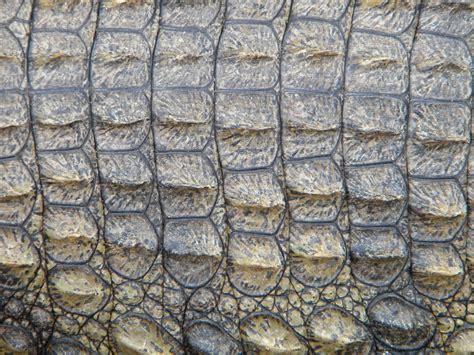 Alligator Skin by Free Stock Photo Crocodile Skin Reptile Free