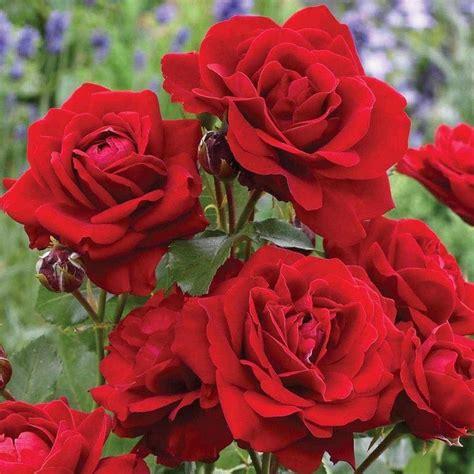 lili marlene rose ft standard   plants