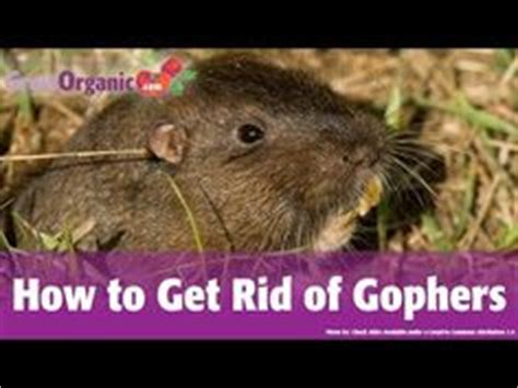 how to get rid of gophers in your backyard how to get rid how to get and to get on pinterest