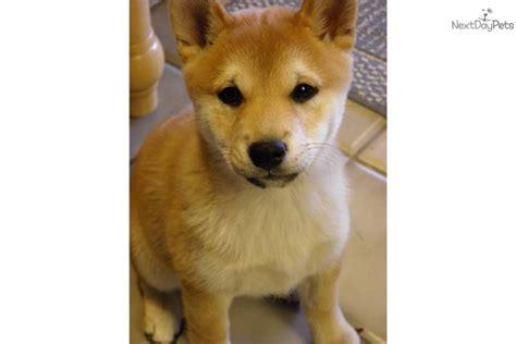 shiba inu puppies colorado shiba inu breeders photograph shiba inu for sale for 700 nea