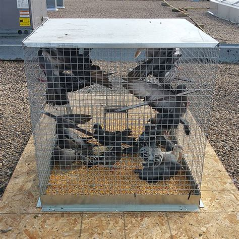 how to trap pigeons for how to trap pigeons in a cage