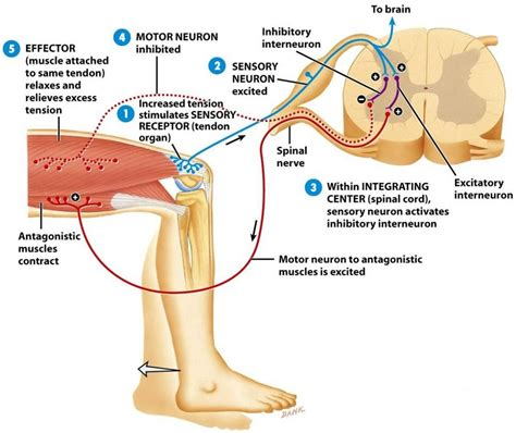 diagram of reflex patellar reflex arc diagram baroreceptor reflex diagram