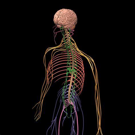 Nervous System 3d Model