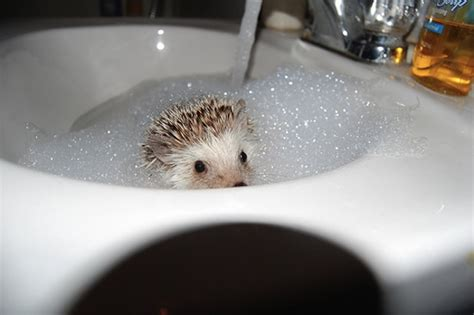 hedgehog bathtub bubble bath day the blog of teresa