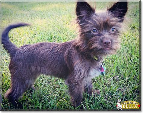 wire haired yorkie wire haired dachshund chihuahua mix photo
