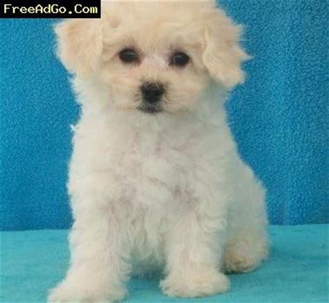 puppies for adoption in ohio ohio family raise bichon frise puppies for adoption cincinnati oh dogs