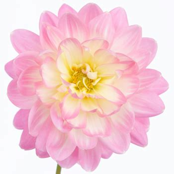 Dahlia Flower Light Pink Snow Petals Pink Flower Lights