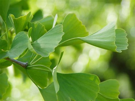 ginko green leaves  photo  pixabay