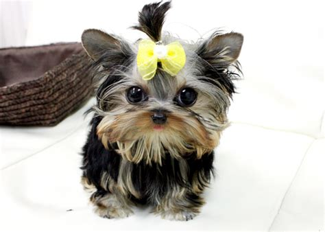 teacup yorkies for sale in mobile al adorable teacup yorkie puppies for free adoption mobile al asnclassifieds