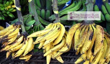 Bibit Pisang Ambon Dengan Rasa Yang Sangat Manis bibit pisang tanduk pisang unggul dengan buah panjang