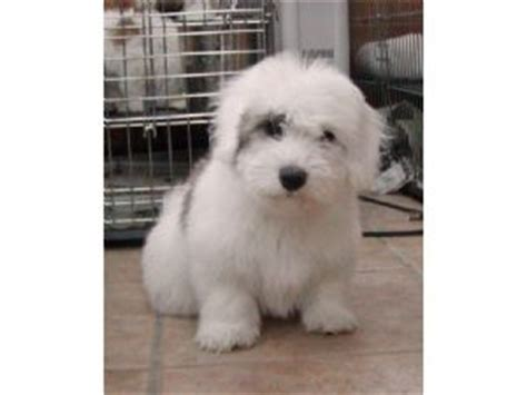 coton de tulear puppies for sale florida coton de tulear puppies in minnesota
