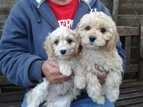 Cavapoo Shedding by Beautiful F1 Nonlow Shedding Cavapoo Puppies For Sale Dogs