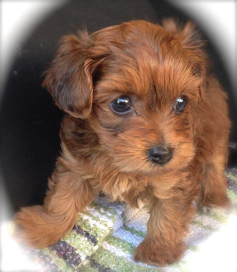 yorkie poo info yorkie poo pups for sale in florida