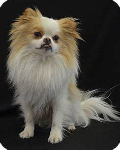 pomeranian st louis 1000 images about peekapom on pomeranians pomeranian breed and