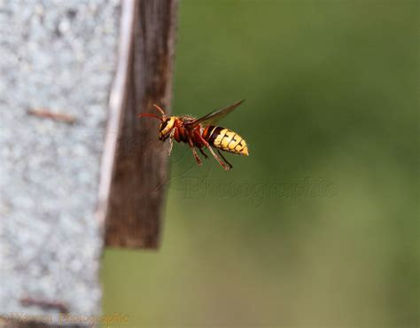 hornet in bird box photo wp40620