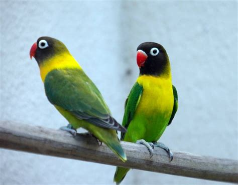 Suplemen Lovebird 289 best images about parrots on green scarlet and africa