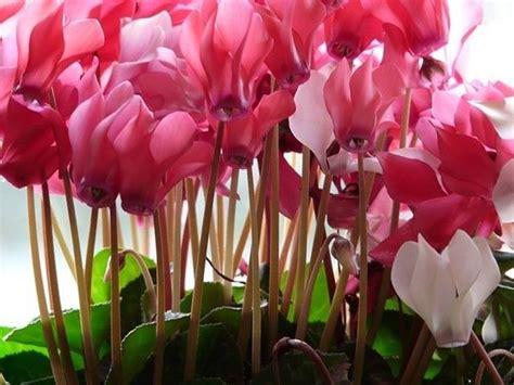 fiore ciclamino ciclamino cyclamen persicum piante da interno
