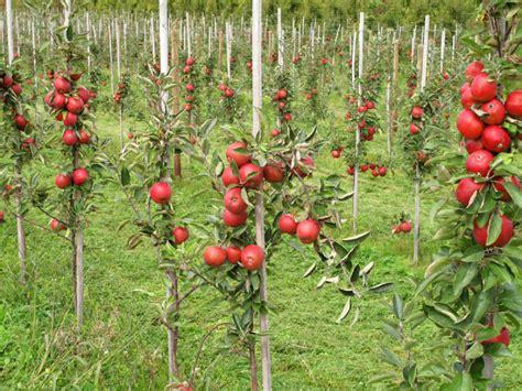 apfelbaum pflanzen wann apfelbaum vermehren 187 diese methoden gibt es