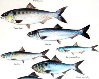 Sarden Mackerel Botan A1 2 sardine etsy