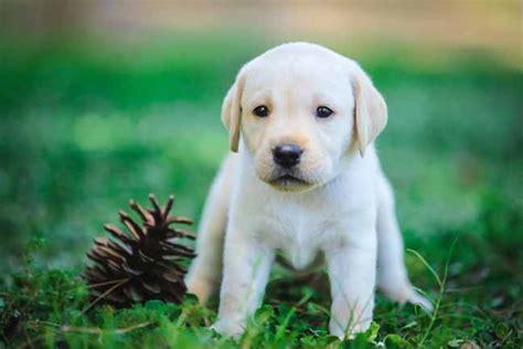 lab puppies az lab labrador retriever breeder breeds picture