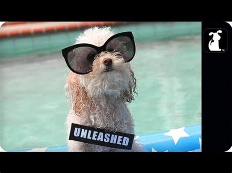 miley cyrus pug jurassic park pug puppy edition funnydog tv