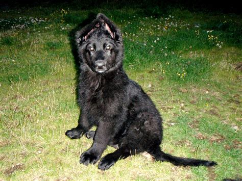 all black german shepherd all black german shepherd haired sale breeds