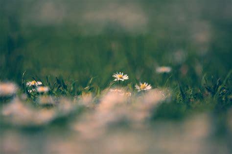 foto margherita fiore fiori di margherita immagine gratis domain pictures