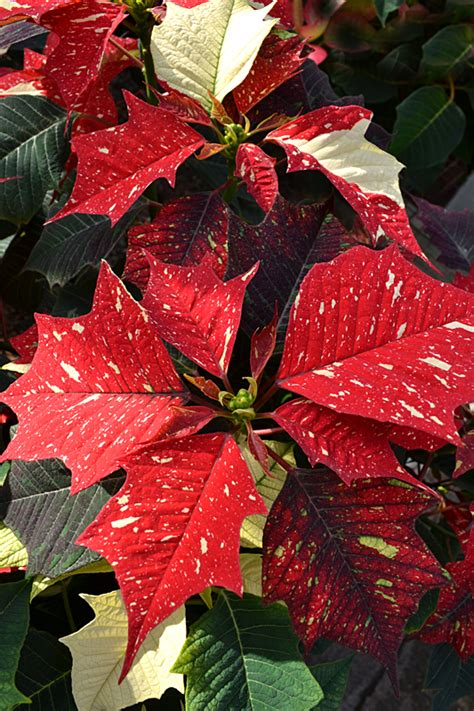 poinsettias are white and pink and speckled explore new