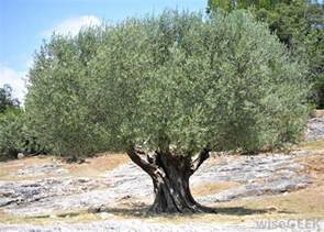 what are the best tips for planting olive trees