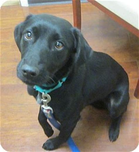 lab puppies for adoption in nj peapod the pocket lab adopted oak ridge nj labrador retriever whippet mix