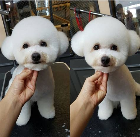 bichon poo haircuts 15 best bichon grooming hairstyles images on pinterest