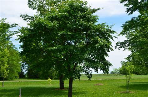 Foliage Of Plants - northern empress japanese elm plant sciences