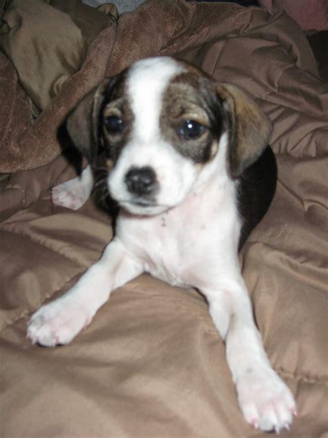 cheagle puppies cheagle puppy rachael edwards