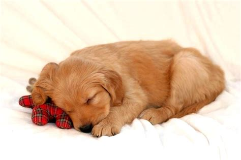 golden retriever puppies sleeping sleeping golden retriever puppies www pixshark