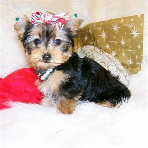tiny teacup yorkies for sale in alabama 1000 images about tiny yorkie puppies for sale on yorkie puppies for