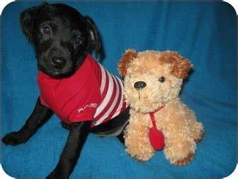 miniature golden retriever ohio adopted puppy wauseon oh miniature pinscher golden retriever mix