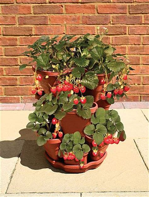 growing strawberries in containers gardening