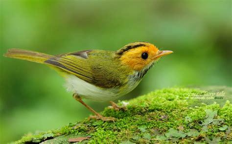 bird l 绿林仙子春天可爱小鸟宽屏壁纸2 宽屏图18 电脑之家pchome net