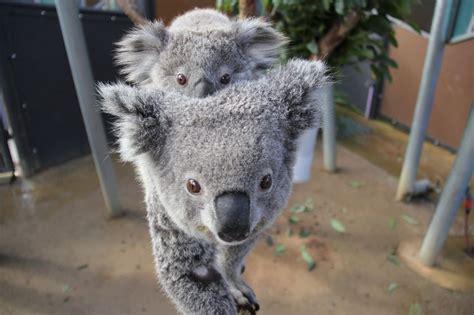 Metto Koala koala zooborns