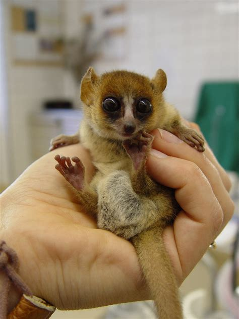 Baby Lemur | baby lemurs