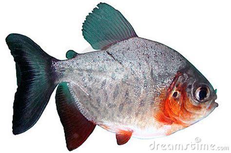 Cari Bibit Ikan Bawal nilai kandungan gizi ikan bawal dunia bawal