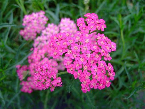 fiori da bordura pieno sole fiori estivi perenni 28 images achillea millefolium