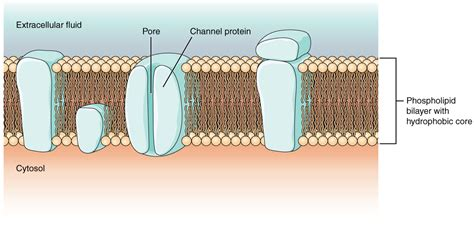 action potential anatomy  physiology