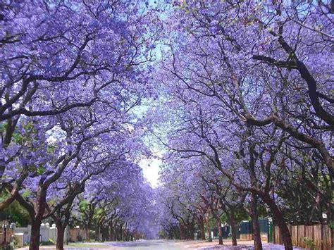 Wisteria Flower Tunnel by Jacaranda Mimosifolia