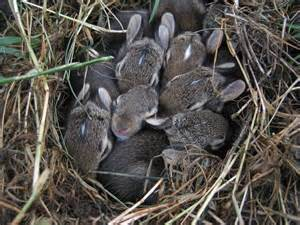 Rabbits gone wild in plainfield il living in plainfield living in