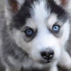 do pomskies shed and other important pomsky questions