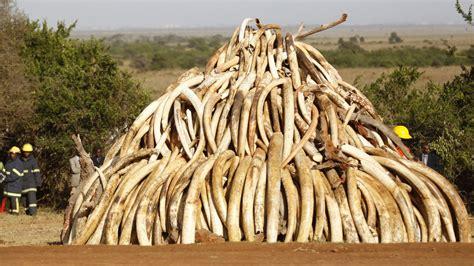 elephant ivory how elephant tusks with gps trackers helped reveal