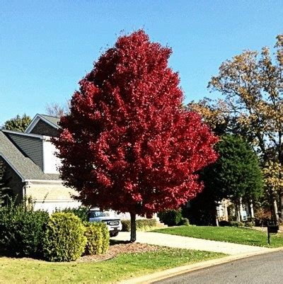 what maple tree has purple leaves year quora
