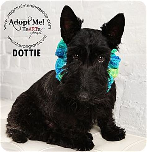 dogs for adoption in nebraska omaha ne scottie scottish terrier meet dottie pending adoption a for adoption